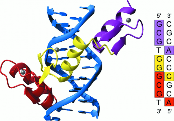 Figure-2-The-Zif268-DNA-complex-7-8-showing-the-three-zinc-fingers-of-Zif268-bound